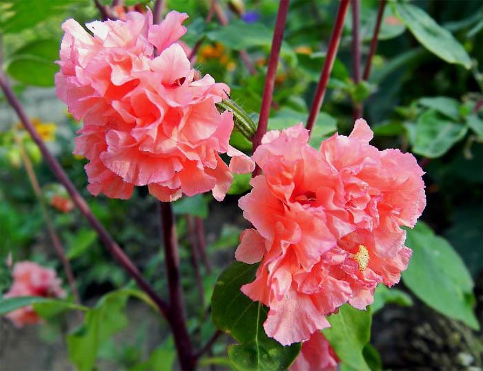 Кларкия – очень красивое и нарядное растение, имеющее длительный период цветения