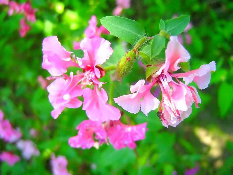 Высота растения варьируется от 30(40) до 60 см.