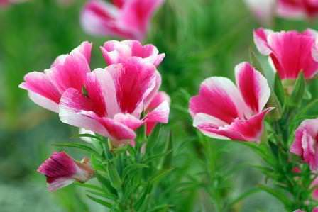 Цветок является однолетним и принадлежит к семейству Кипрейных
