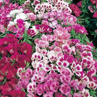 При выращивании кларкия требовательна к состоянию почвы. Она хорошо цветет в слабокислой, рыхлой, влажной почве