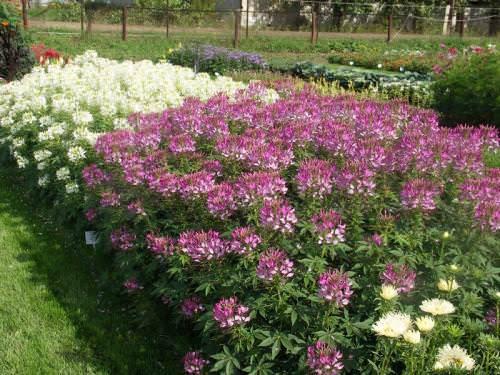 Клеома — прекрасный садовый цветок, который поможет украсить любой уголок вашего участка своим нежным и изысканным видом