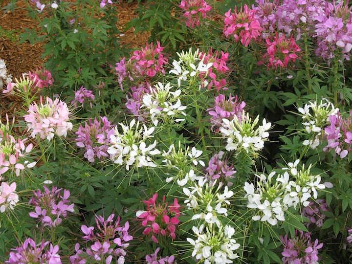 Если хотите ускорить и повысить всхожесть семян, правильно обработайте их до посадки, замочите в Агате или Эпине (используйте инструкцию на упаковке препарата)