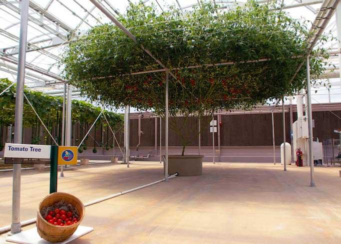 Помидорное дерево «Спрут ф1» возможно выращивать на протяжении 1,5 лет