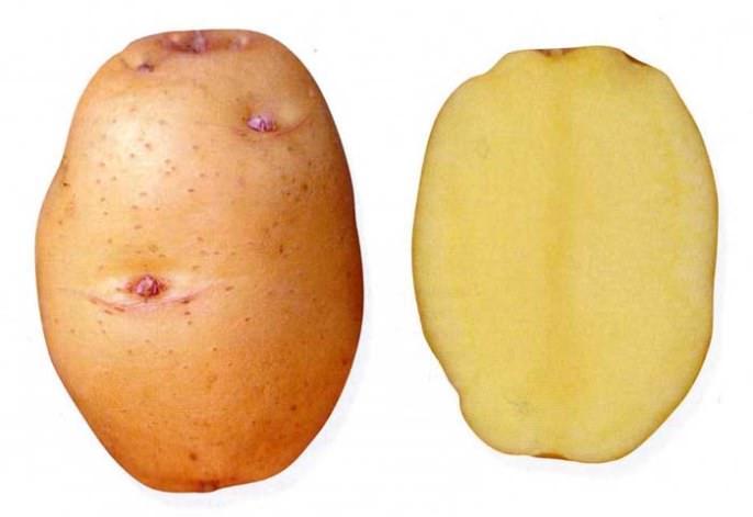 Характеристики товарности собранного урожая картофеля «Барон» высокие