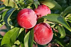 Сливы относятся к популярным плодово-ягодным растениям