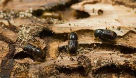 Борьба с короедом в саду может превратиться в ожесточенную войну, если уделять своей даче мало внимания