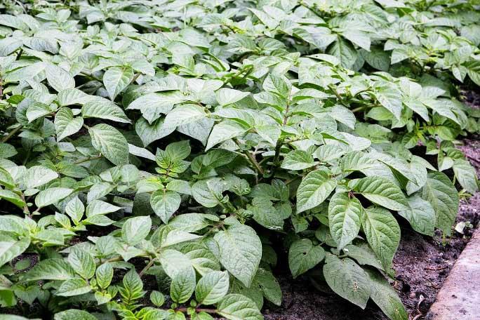 Кусты картофеля «Краса» мощные, с достаточно толстой и массивной стеблевой частью
