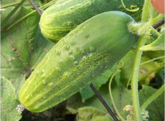 Огурец Феникс описание, характеристика плодов, особенности выращивания, посадка и уход, семена,