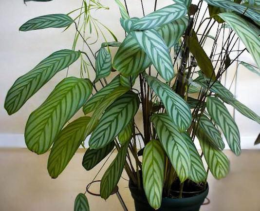 «Укореняющийся» (Ficus radicans Desf.)