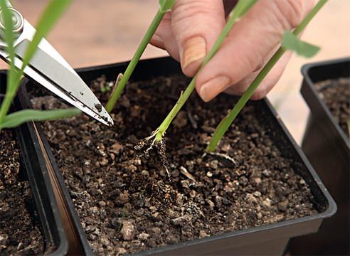 При уходе за рассадой необходимо регулярно поливать, в солнечные дни не менее 3-4 раз