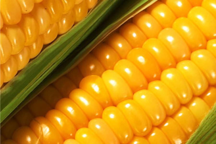 Наиболее пригодны для выращивания рассадой ранние гибриды F1 селекции Приднестровского научно-исследовательского института сельского хозяйства – Золотое Руно и Виола
