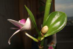 «Детки» орхидеи представляют собой отростки на стволе растения