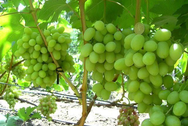 Виноград Ландыш формирует крупные кисти, вес которых не ниже 0,5 кг