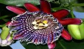 Пассифлора – это стратоцвет, который отличается удивительными по красоте цветками