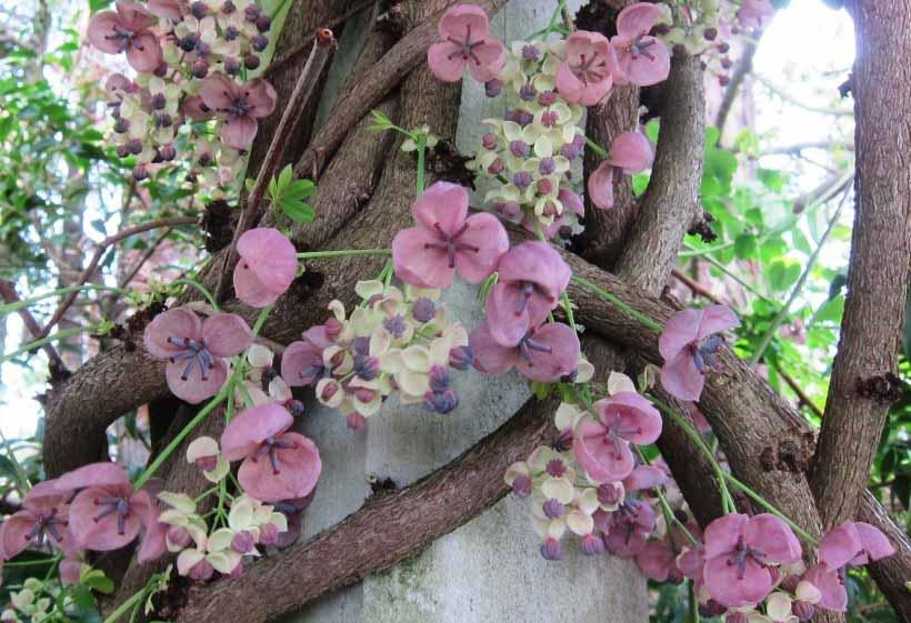 Шоколадная лиана (Akebia quinata) – это вьющийся кустарник (лиана), достигающий высоты от 3 до 6 метров