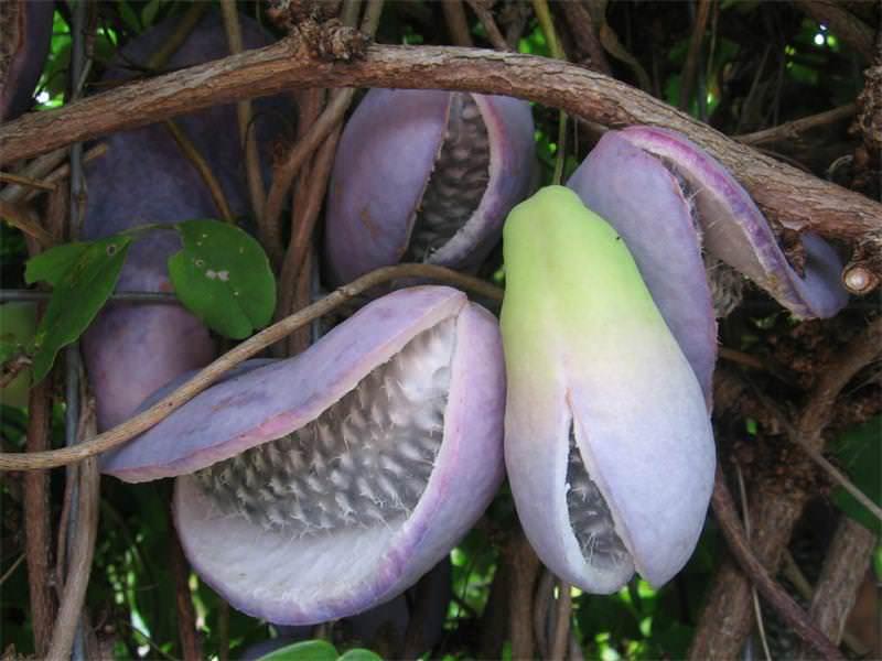 Плоды акебии едят как десерт, их кожуру фаршируют мясом, обжаривая на масле