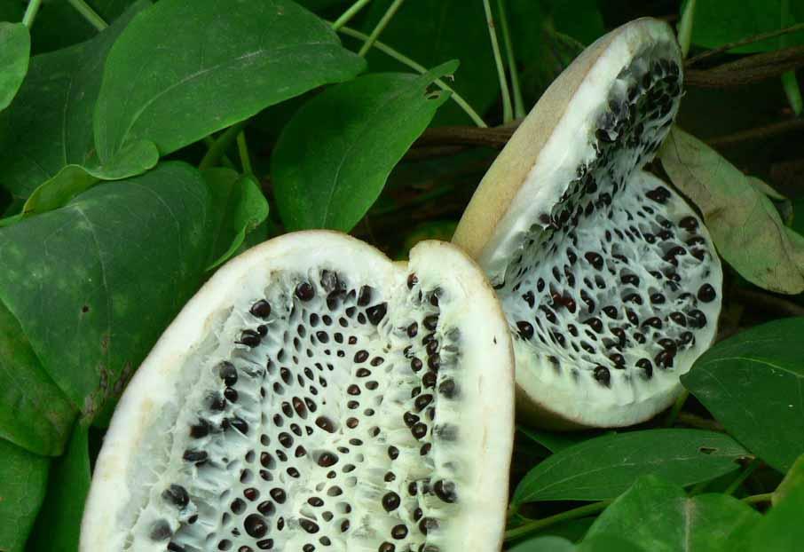 Акебия: экзотическая и полезная восточная гостья в нашем саду