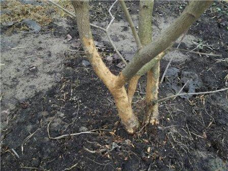 Незащищенное дерево может пострадать от мороза