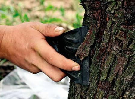 Если кора дерева повреждена или пересохла и дала трещины, производится очистка коры