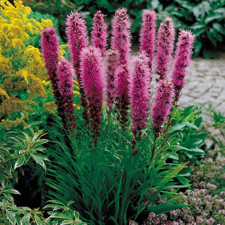 Примечателен тот факт, что лиатрис — это не просто яркое растение, которое достаточно просто внесет в ваш сад свежесть и красоту, но и материал для изготовления благовоний и лекарственных средств