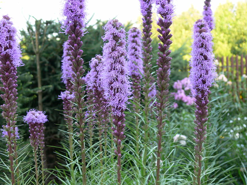 """Лиатрис отлично подходит для выращивания на клумбах вместе с растениями, имеющими ажурную структуру куста или """"круглые"""" соцветия"""