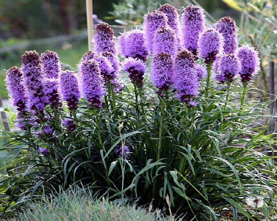 """Лиатрис совершенно нормально относится к прямым солнечным лучам, можно сказать, что растение просто """"живет"""" на солнце, поэтому, выбирая место для посадки лиатриса, предпочтение стоит отдать участку открытому, хорошо освещенному"""