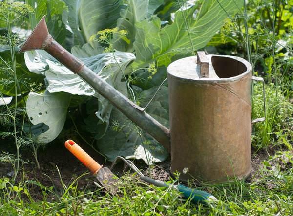Капуста является очень влаголюбивой овощной культурой
