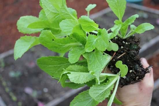Рассада капусты будет готова к высаживанию на гряды открытого грунта при наличии 4-6 листочков