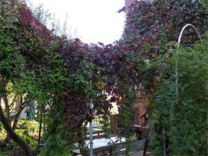 Высаживая лианы, нужно позаботиться о вертикальных опорах