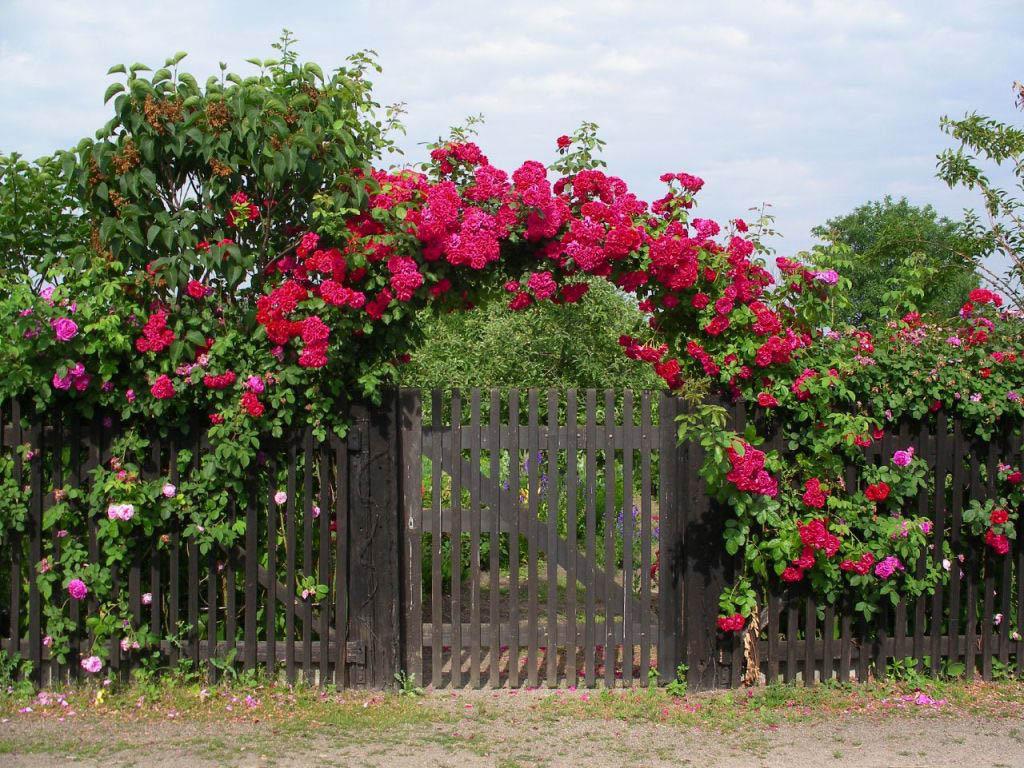 За насыщенный цвет листвы и долгое цветение (с лета почти до конца осени) плетистая роза пользуется любовью садоводов