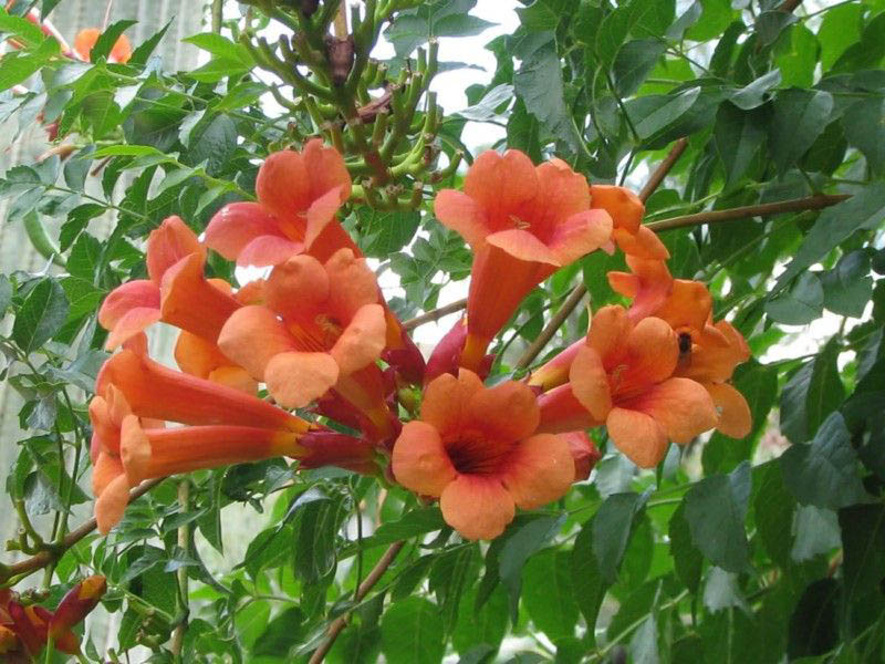 Кампсис — на редкость неприхотливое растение, не нуждающееся в уходе, кроме времени посадки, когда оно может не прижиться и погибнуть