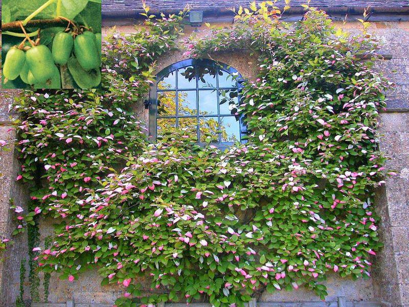 Актинидия – на вид довольно мощная многолетняя лиана, обладающая вместе с тем изяществом и красотой