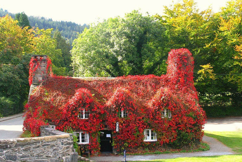 Дикий виноград отлично цепляется за стены, любые ограждения и деревья, поэтому его широко используют для вертикального озеленения
