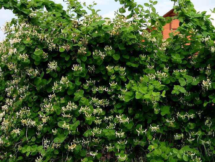 Встречаются разные виды жимолости, одни виды не цветут, другие цветут и издают удивительно приятные ароматы, плоды некоторых видов жимолости можно употреблять в пищу