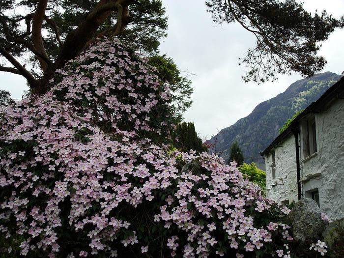 Цветет клематис очень красиво, внешние лепестки могут быть различных оттенков, которые можно подобрать на свой вкус при покупке растения