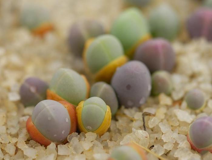 Форма растения в точности напоминает по внешнему виду известную гальку и очень мелкие камешки