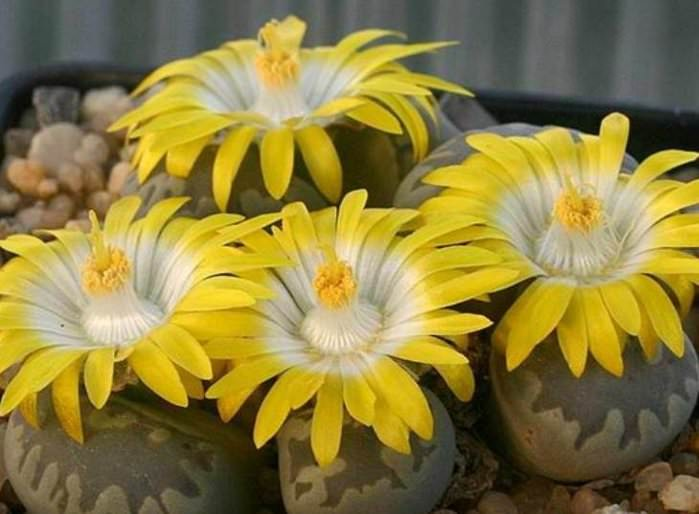 Растения данного типа довольно легко размножаются семенами