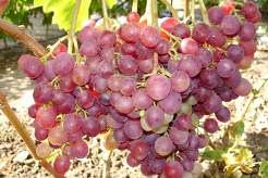 Сорт Ливия приобретает популярность в приусадебном виноградарстве
