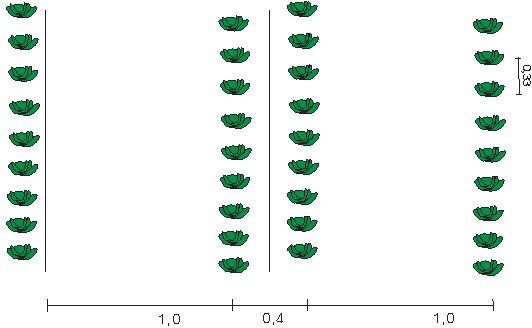 Качественную рассаду капусты раннеспелых сортов следует размещать с расстоянием в 0,35 м