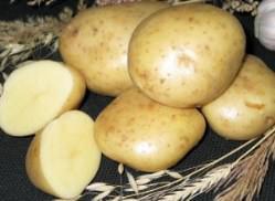 Картофель «Елизавета» – среднеранний сорт столового назначения