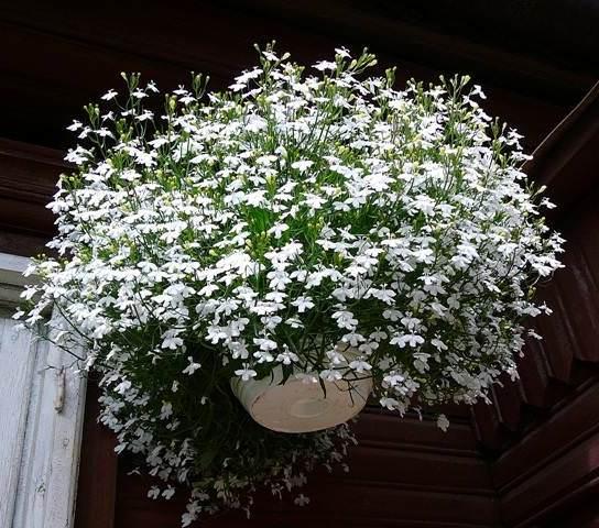 Лобелия является однолетним медленнорастущим растением, которое относится к семейству колокольчиковых