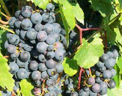 Виноград «Альфа» принадлежит к североамериканским сортам