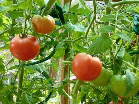 Для того чтобы вырастить в теплице хороший урожай томатов, необходимо правильно подобрать сорт