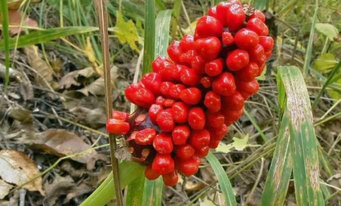 Аризема – цветок, обладающий ярко-красными ягодами