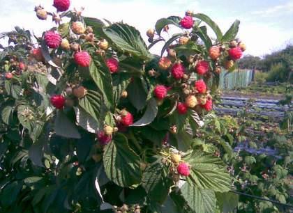 Подготовка сада к зимовке: ягодные культуры