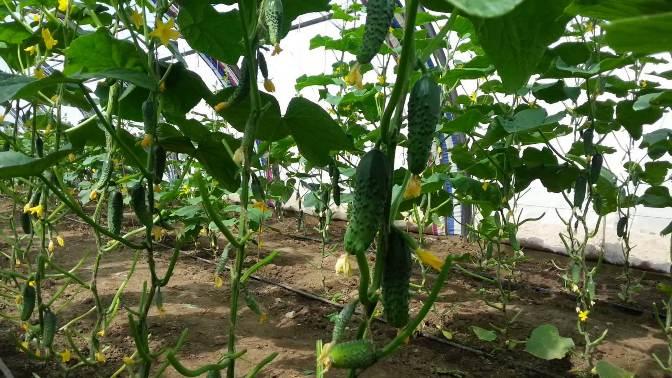 Огурцы гибридной формы «Машенька f1» весьма популярны у дачников в качестве овощной культуры для плёночных укрытий