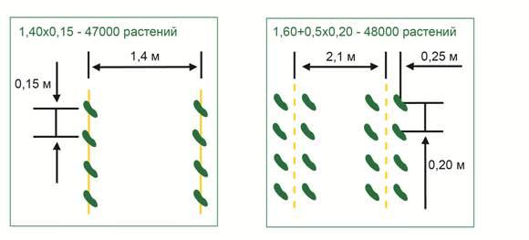 Огурцы «Машенька f1» следует выращивать, соблюдая плотность посадки растений из расчёта трёх растений на квадратный метр