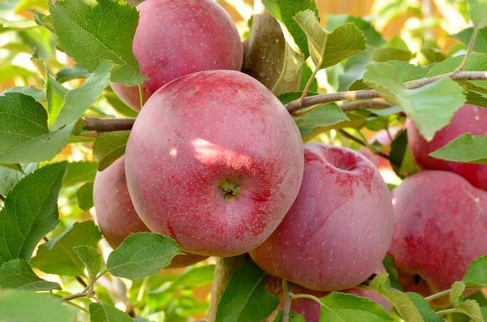 В настоящее время плодовые растения сорта «Флорина» выращиваются на значительной территории лесостепных и степных зон
