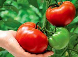 посадка помидор по методу маслова