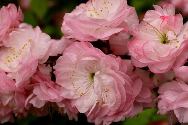 Так как миндаль – цветковое растение, он подвержен атаке тли. Насекомые повреждают листья и тормозят развитие почек